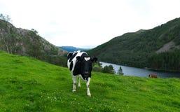 Корова молока Стоковое Изображение RF