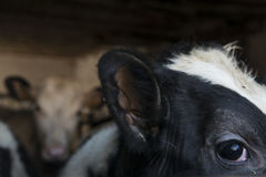 Корова наблюдая от конюшен стоковые изображения rf