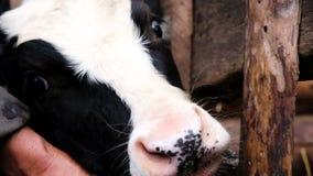 Корова намордника черно-белая лежит его голова на конце-вверх руки ` s фермера в стойле, замедленном движении видеоматериал