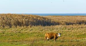 Корова на береге моря Стоковые Изображения RF