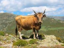 Корова на выгоне горы в острове Сардинии стоит на краю утеса Стоковая Фотография RF