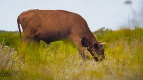 Корова на выгоне ест акции видеоматериалы