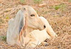 Корова на выгоне лета Стоковое Фото