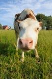 Корова на выгоне и доме лета позади Стоковые Фото