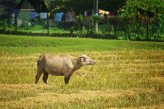 Корова на выгоне Стоковое Фото