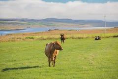 Корова на выгоне Стоковые Изображения RF
