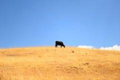 Корова на высокой горе Стоковое Изображение RF