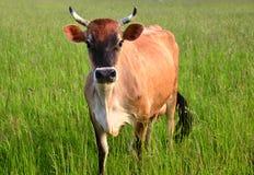 Корова на зеленой траве Стоковые Фотографии RF