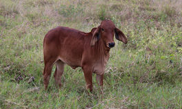 Корова на зеленом поле Стоковые Изображения