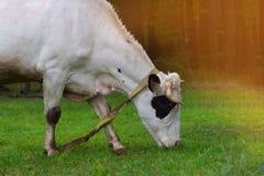 Корова на зеленом поле Стоковое Изображение RF