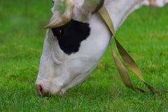 Корова на зеленом поле Стоковая Фотография
