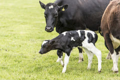 Корова на злаковике, Новой Зеландии стоковые фотографии rf