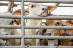 Корова на клетке тележки Стоковая Фотография