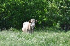 Корова на лужке Стоковое Изображение RF