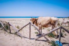Корова на песчаном пляже Стоковое Изображение RF