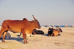 Корова на пляже Стоковые Изображения