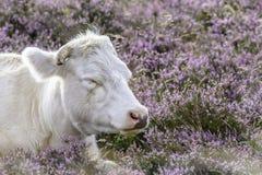 Корова на поле вполне цветков стоковые изображения