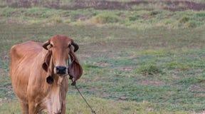 Корова на поле, одиночная корова на луге стоковая фотография