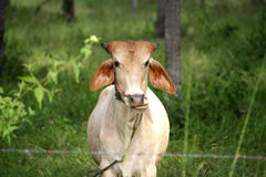 Корова на поле зеленой травы Стоковая Фотография