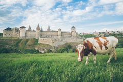 Корова на поле с старым замком на bcakground Стоковое Изображение