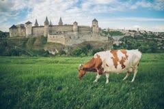 Корова на поле с старым замком на bcakground Стоковые Изображения