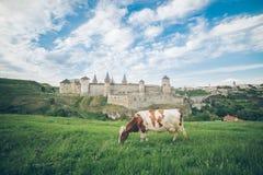 Корова на поле с старым замком на bcakground Стоковая Фотография RF