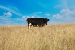 Корова на поле фермы Стоковая Фотография