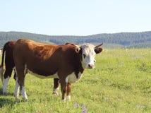 Корова на поле Стоковые Фото