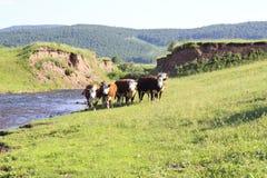 Корова на поле Стоковая Фотография