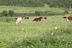 Корова на поле Стоковые Изображения