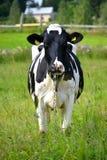 Корова на поле Стоковое Изображение