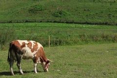 Корова на поле Стоковые Изображения RF