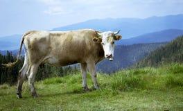Корова на предпосылке прикарпатских гор Стоковое фото RF