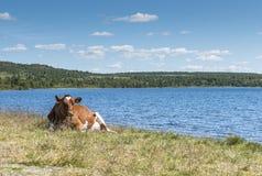 Корова на пляже в Норвегии Стоковое Изображение RF