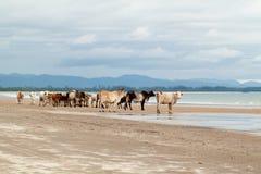 Корова на пляже Стоковые Фотографии RF