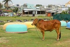 Корова на рыбацком поселке Ne Mui Стоковые Изображения RF