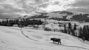 Корова на снеге вверху гора Стоковые Изображения