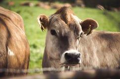 Корова на лугах стоковая фотография rf