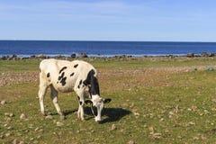 Корова на луге пляжа Стоковые Фотографии RF