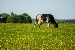 Корова на луге цветка Стоковые Изображения