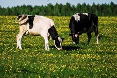 Корова на луге цветка Стоковые Фотографии RF