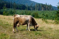 Корова на лужке Стоковые Изображения