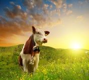 Корова на лужке Стоковая Фотография