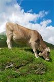 Корова на уклоне Стоковая Фотография
