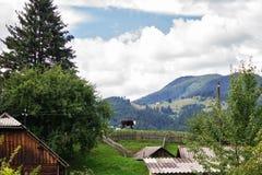 Корова на холме в горном селе, Verkhovyna, Украине стоковые изображения rf