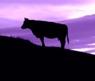 Корова на холме с пурпуровым небом Стоковое фото RF