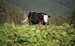 Корова на холме горы Стоковое Фото