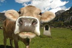 Корова на Engelberg Стоковые Изображения