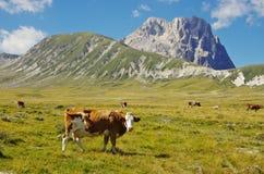 Корова на Gran Sasso Стоковая Фотография