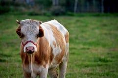 корова немногая Стоковое Изображение RF